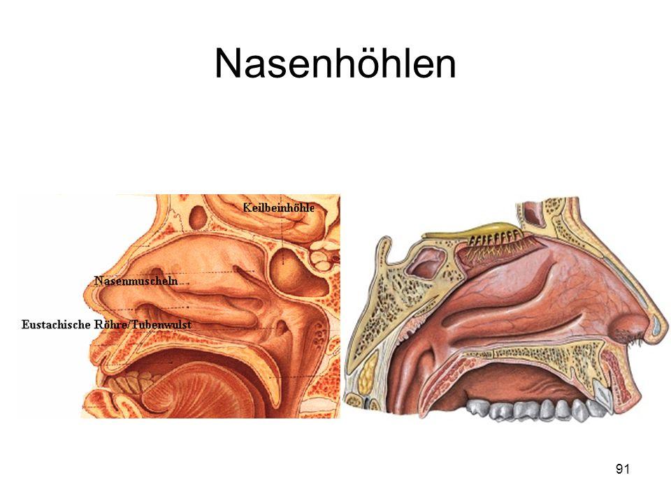 Nasenhöhlen