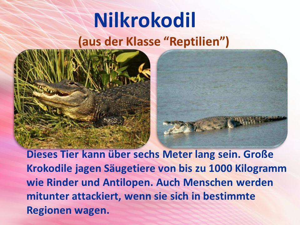 Nilkrokodil (aus der Klasse Reptilien )