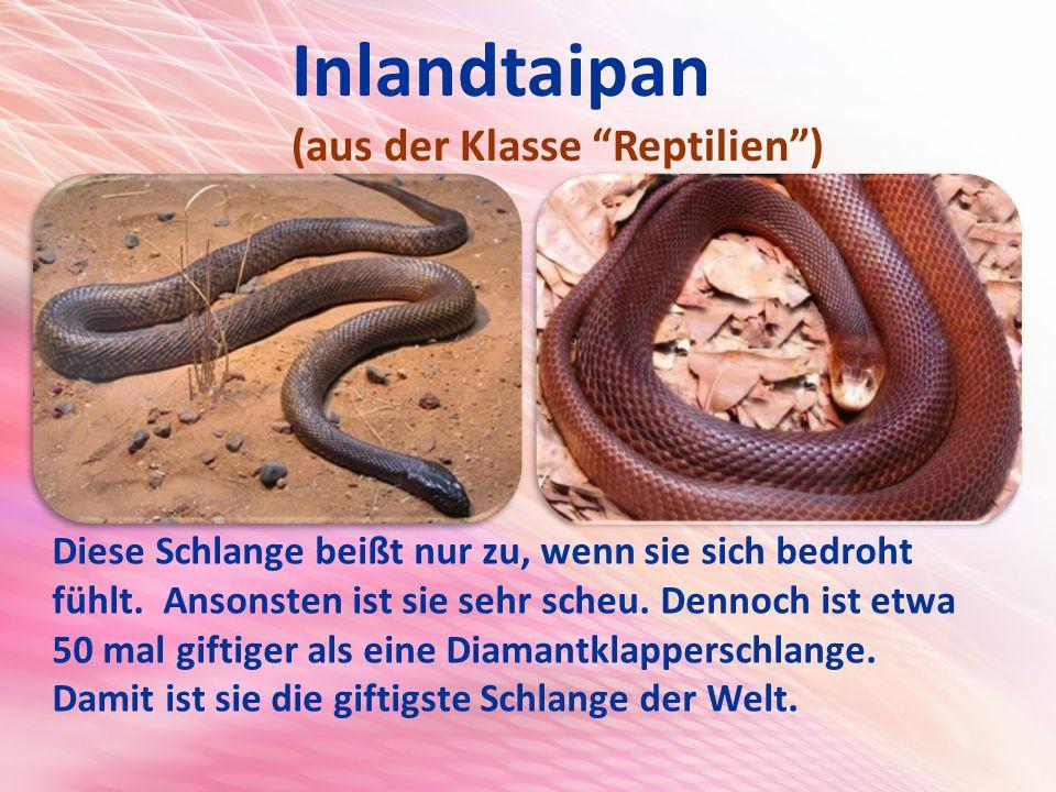 Inlandtaipan (aus der Klasse Reptilien )