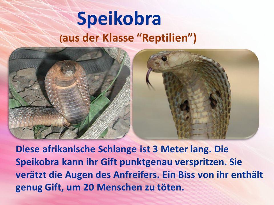 Speikobra (aus der Klasse Reptilien )