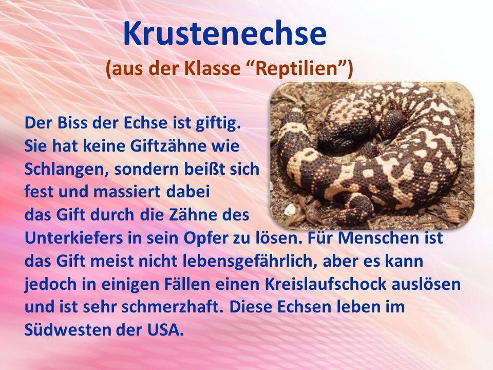 Krustenechse (aus der Klasse Reptilien )