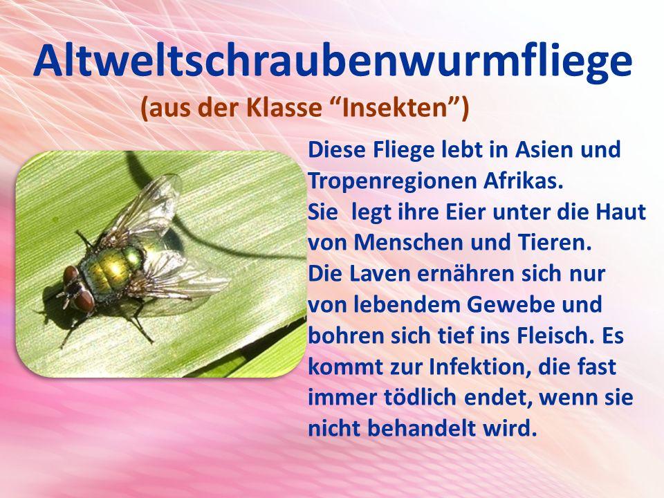 Altweltschraubenwurmfliege