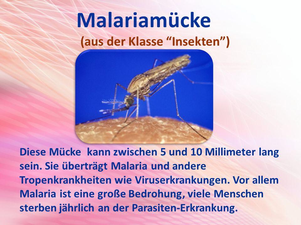 Malariamücke (aus der Klasse Insekten )