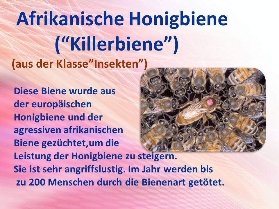 Afrikanische Honigbiene ( Killerbiene )