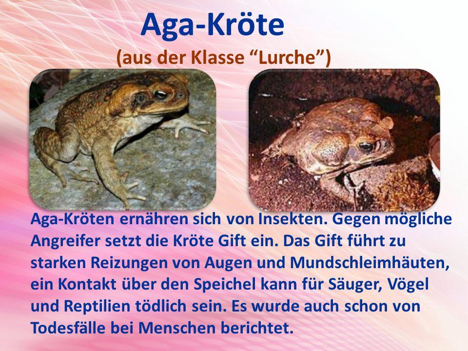 Aga-Kröte (aus der Klasse Lurche )