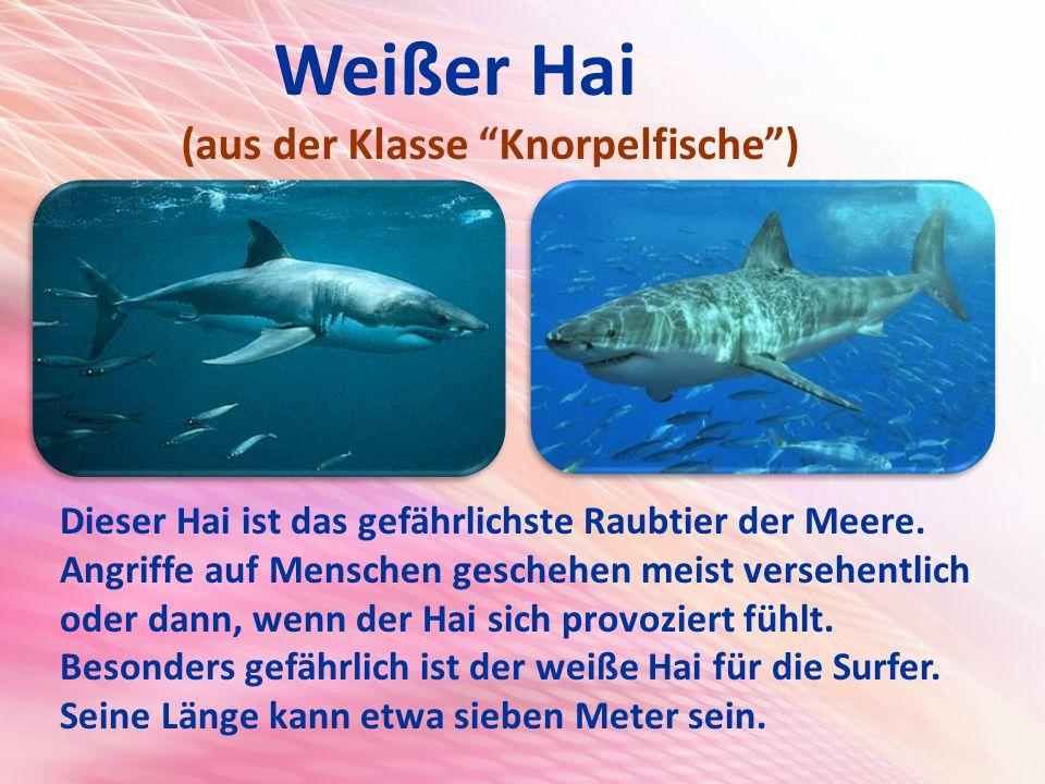 Weißer Hai (aus der Klasse Knorpelfische )