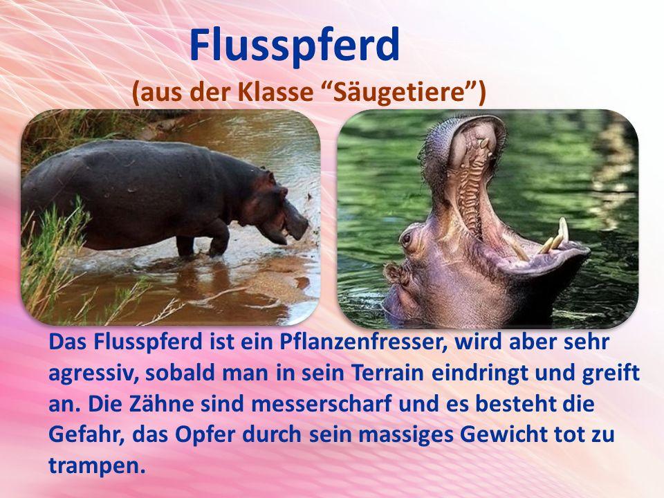 Flusspferd (aus der Klasse Säugetiere )