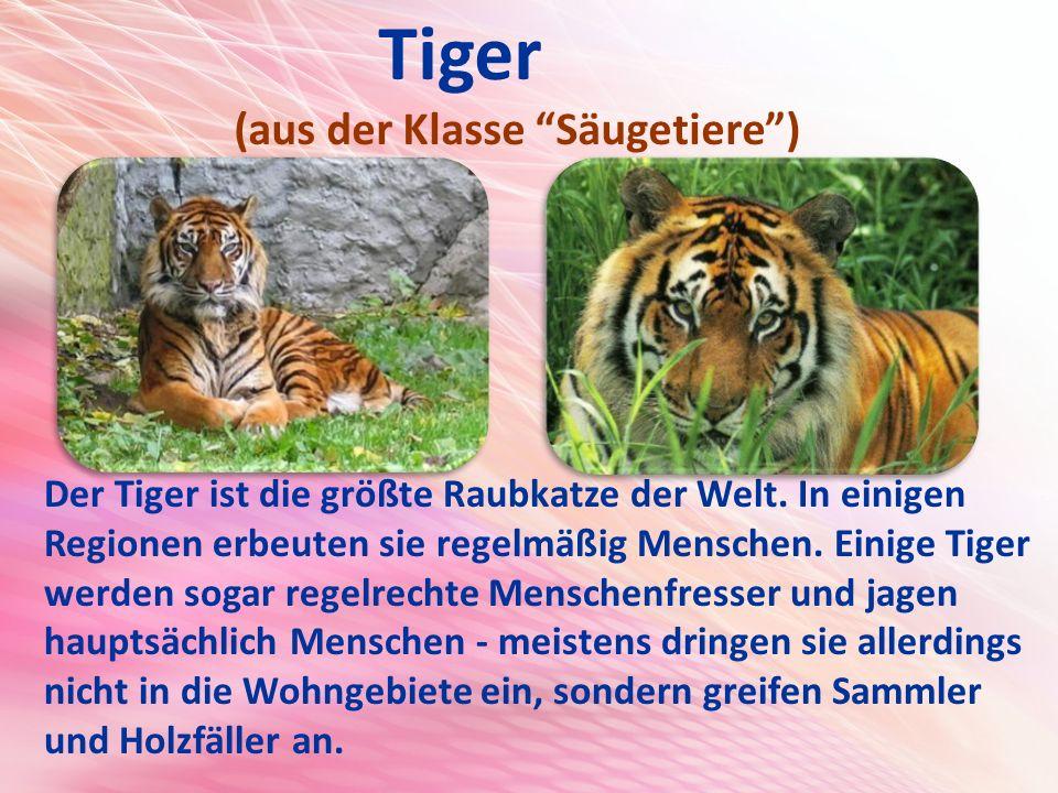 Tiger (aus der Klasse Säugetiere )