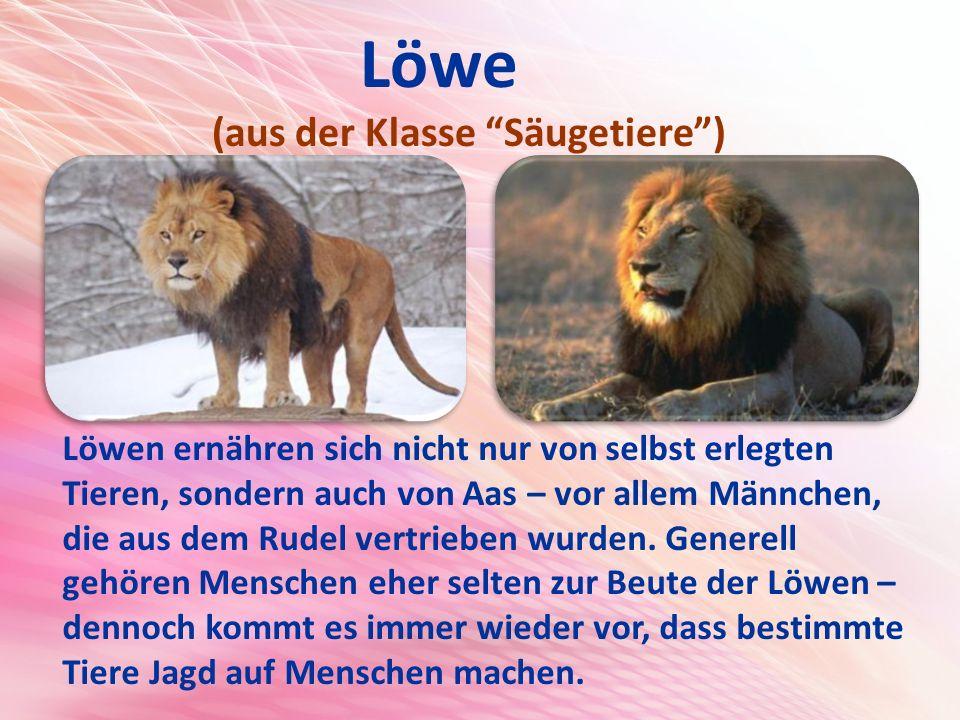 Löwe (aus der Klasse Säugetiere )