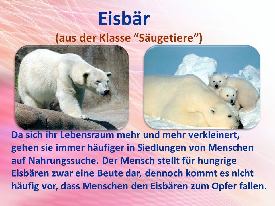 Eisbär (aus der Klasse Säugetiere )