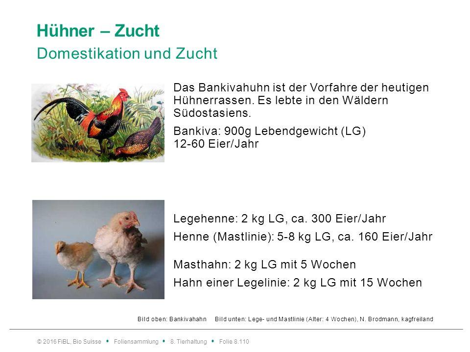 Hühner – Zucht Vermehrungszucht bei Biomastrassen