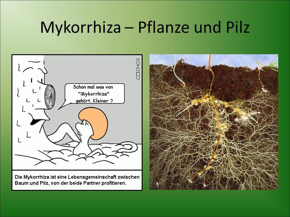 Mykorrhiza – Pflanze und Pilz