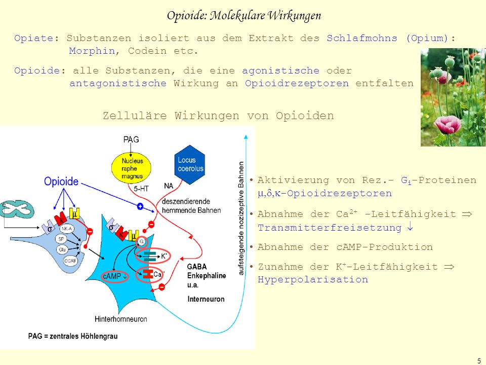 Opioide: Molekulare Wirkungen