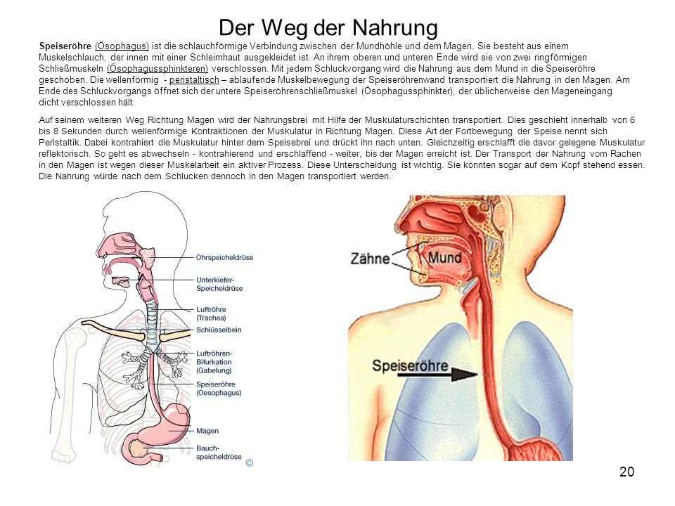 Der Weg der Nahrung Speiseröhre (Ösophagus) ist die schlauchförmige Verbindung zwischen der Mundhöhle und dem Magen. Sie besteht aus einem Muskelschlauch, der innen mit einer Schleimhaut ausgekleidet ist. An ihrem oberen und unteren Ende wird sie von zwei ringförmigen Schließmuskeln (Ösophagussphinkteren) verschlossen. Mit jedem Schluckvorgang wird die Nahrung aus dem Mund in die Speiseröhre geschoben. Die wellenförmig - peristaltisch – ablaufende Muskelbewegung der Speiseröhrenwand transportiert die Nahrung in den Magen. Am Ende des Schluckvorgangs öffnet sich der untere Speiseröhrenschließmuskel (Ösophagussphinkter), der üblicherweise den Mageneingang dicht verschlossen hält.