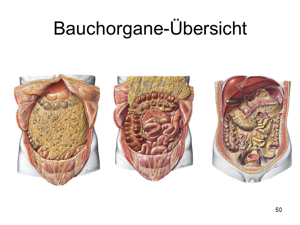 Bauchorgane-Übersicht