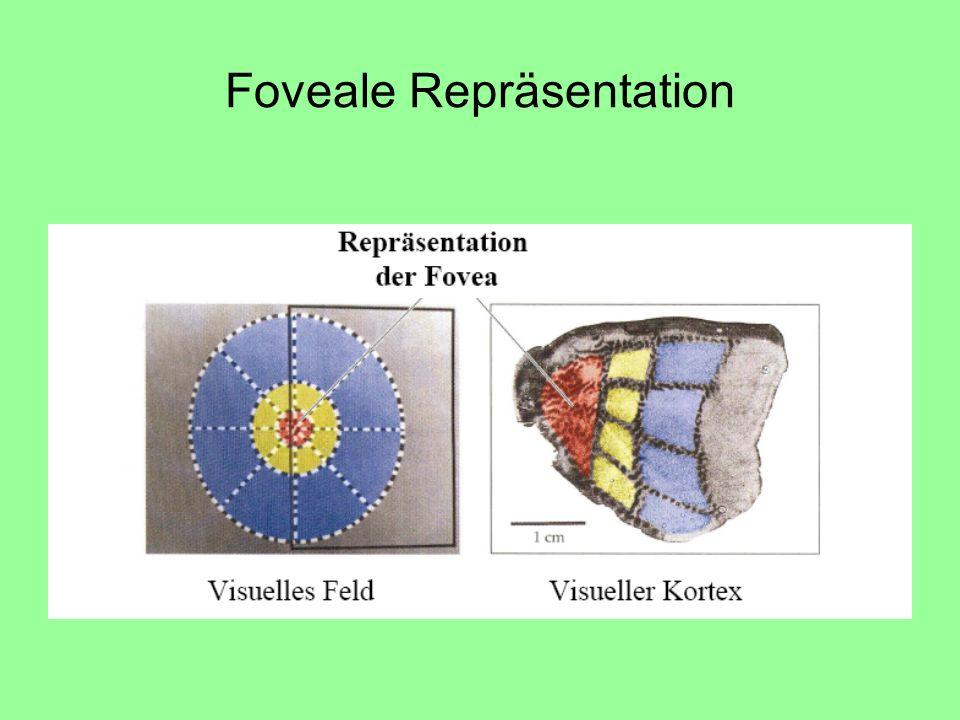 Foveale Repräsentation