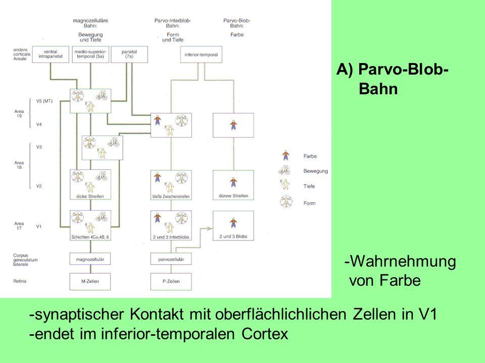 A) Parvo-Blob- Bahn. -Wahrnehmung. von Farbe. -synaptischer Kontakt mit oberflächlichlichen Zellen in V1.