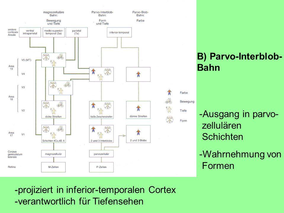 B) Parvo-Interblob- Bahn. -Ausgang in parvo- zellulären. Schichten. -Wahrnehmung von. Formen. -projiziert in inferior-temporalen Cortex.