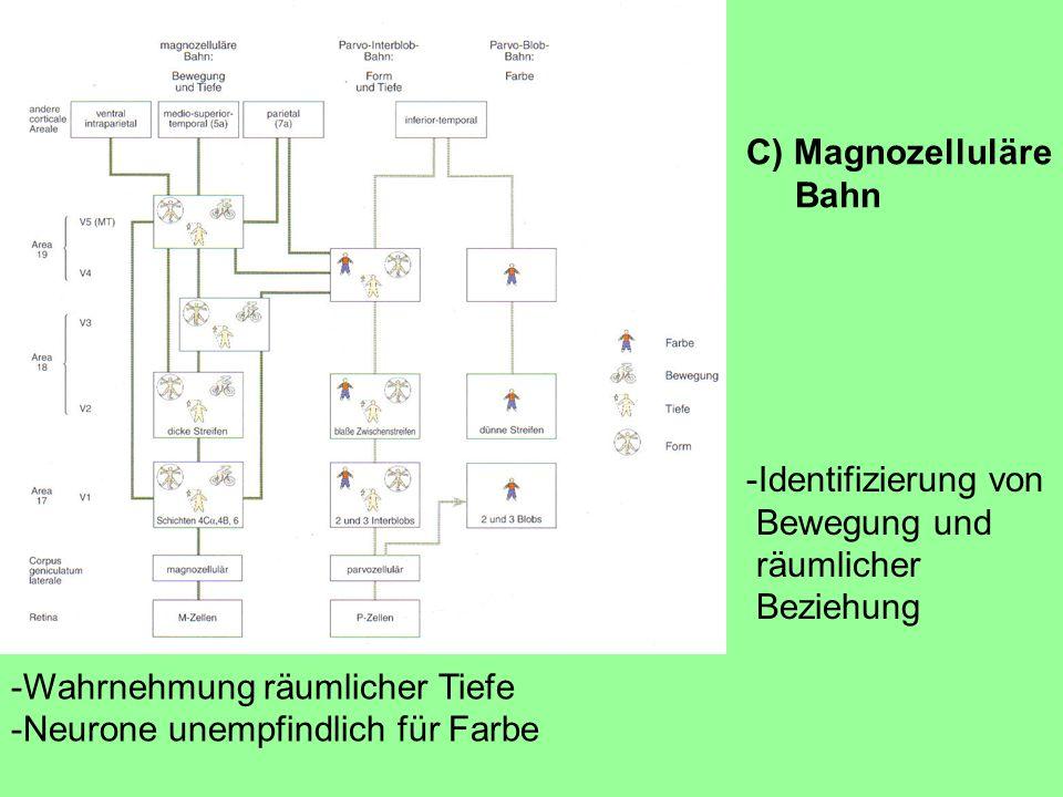 C) Magnozelluläre Bahn. -Identifizierung von. Bewegung und. räumlicher. Beziehung. -Wahrnehmung räumlicher Tiefe.