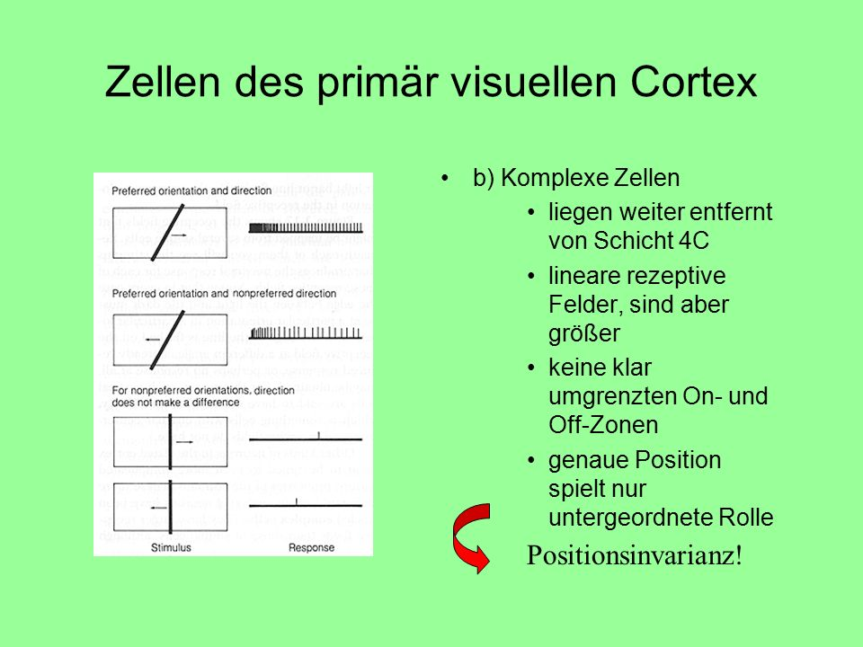 Zellen des primär visuellen Cortex