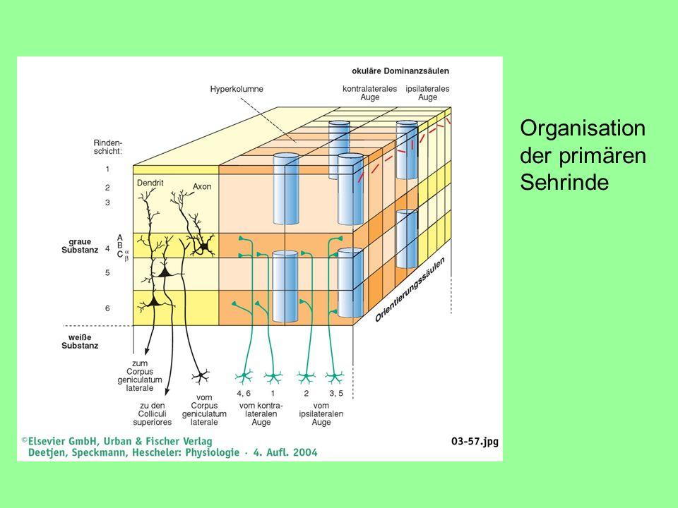 Organisation der primären Sehrinde