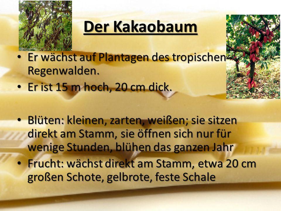 Der Kakaobaum Er wächst auf Plantagen des tropischen Regenwalden.