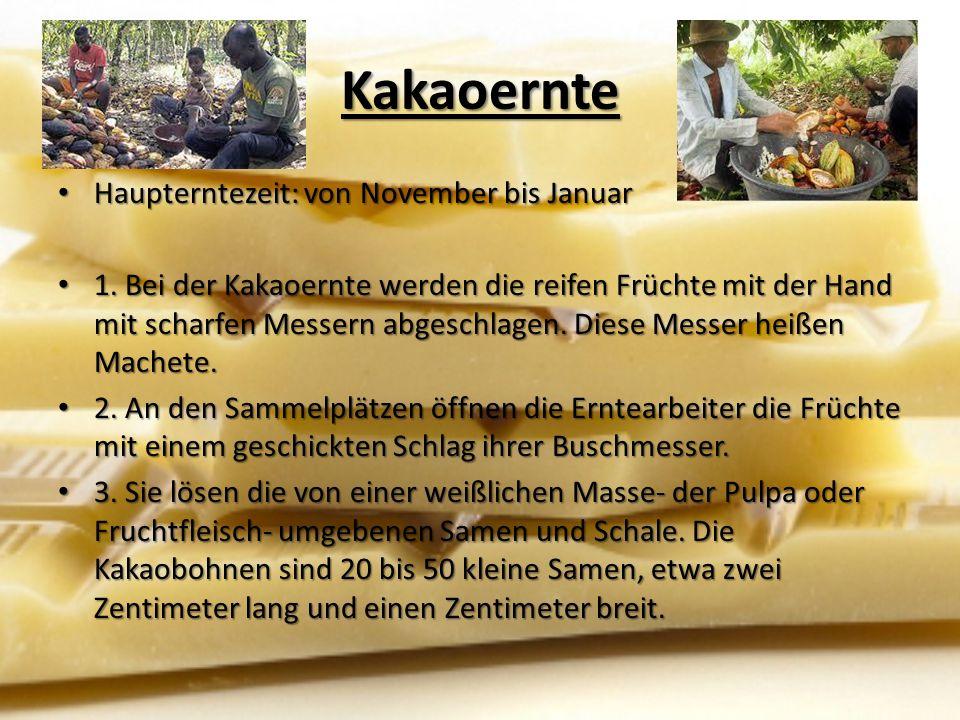 Kakaoernte Haupterntezeit: von November bis Januar