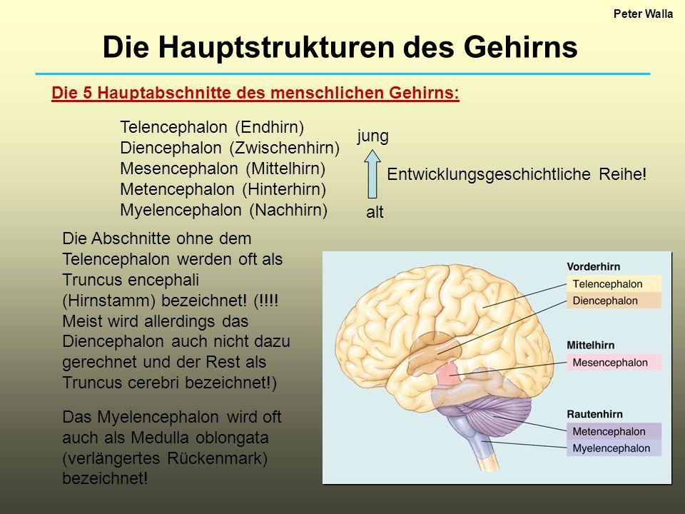 Die Hauptstrukturen des Gehirns - ppt video online herunterladen