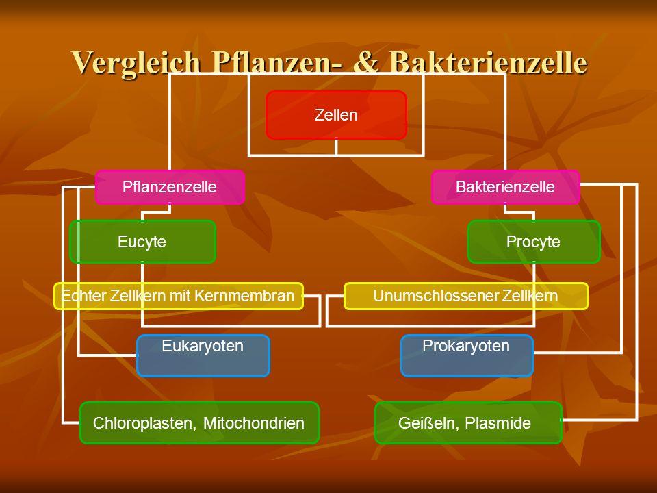 Vergleich Pflanzen- & Bakterienzelle