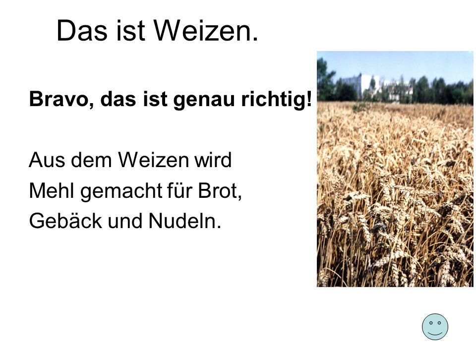 Das ist Weizen. Bravo, das ist genau richtig! Aus dem Weizen wird