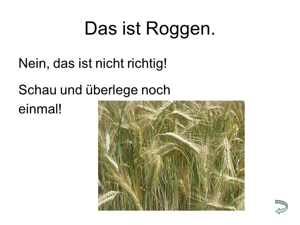 Das ist Roggen. Nein, das ist nicht richtig! Schau und überlege noch