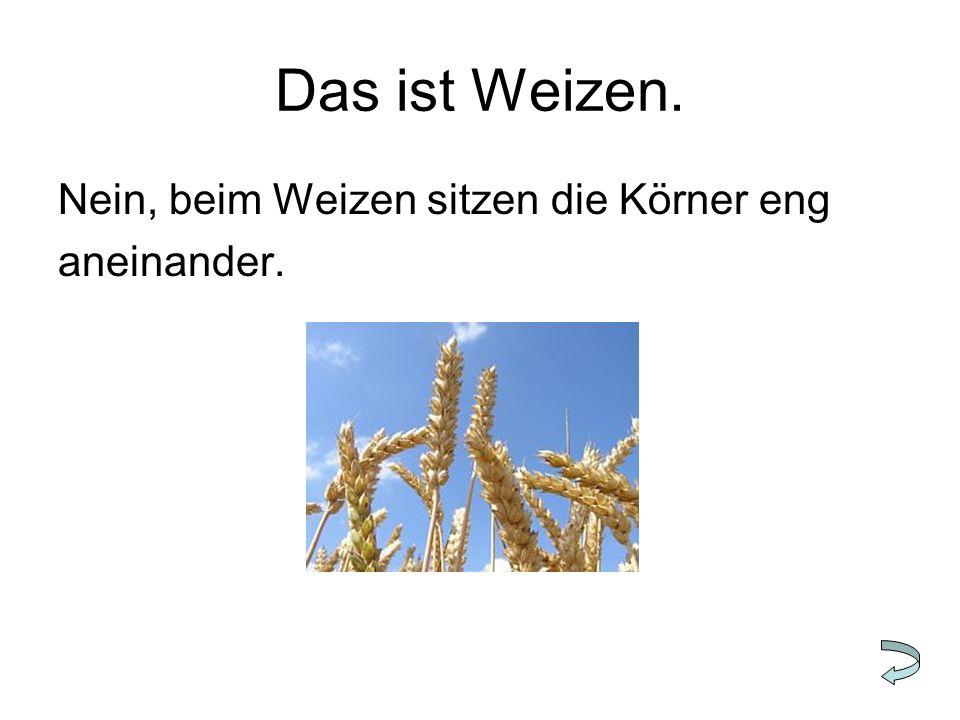 Das ist Weizen. Nein, beim Weizen sitzen die Körner eng aneinander.