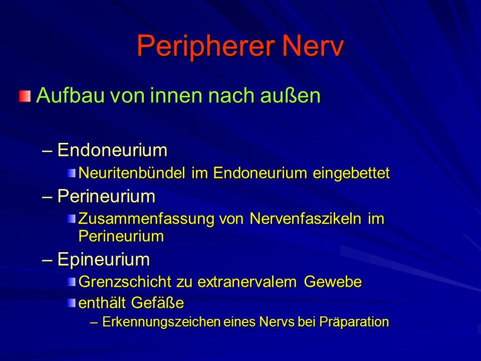 Peripherer Nerv Aufbau von innen nach außen Endoneurium Perineurium