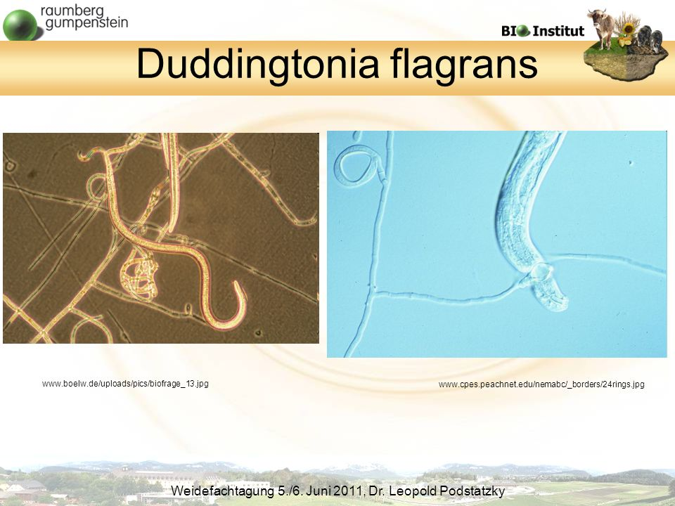 Duddingtonia flagrans
