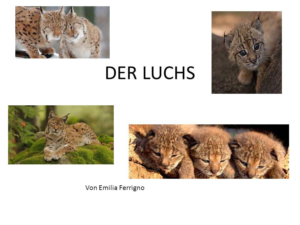 DER LUCHS Von Emilia Ferrigno