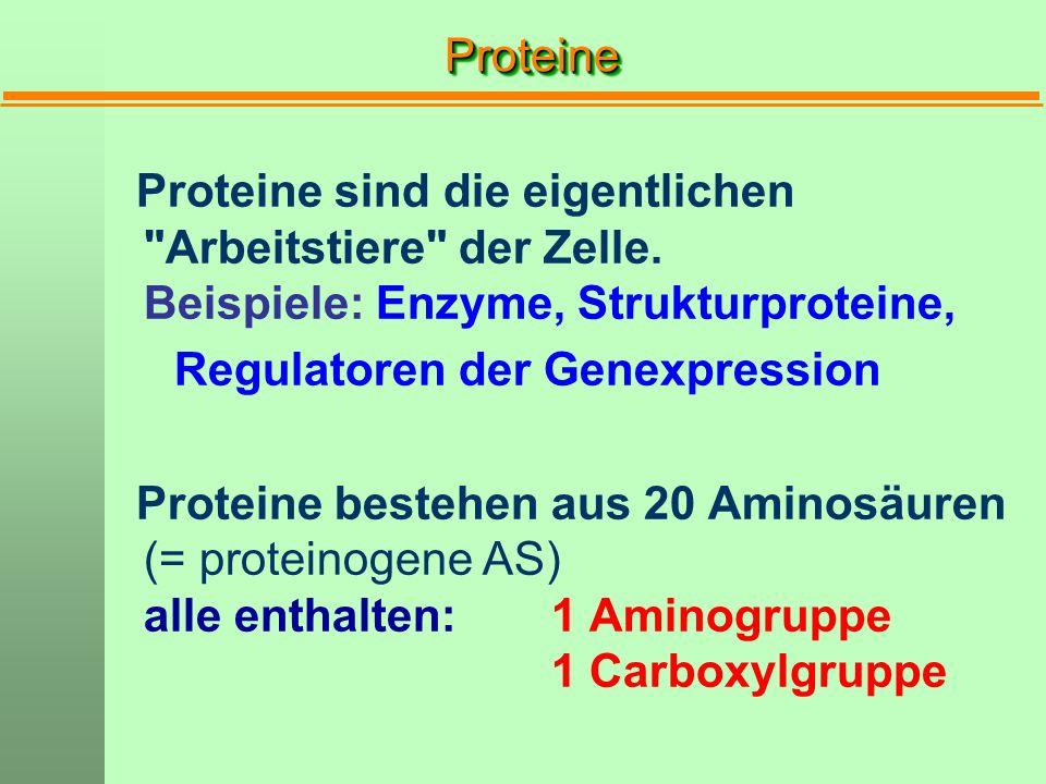 Proteine Proteine sind die eigentlichen Arbeitstiere der Zelle. Beispiele: Enzyme, Strukturproteine,