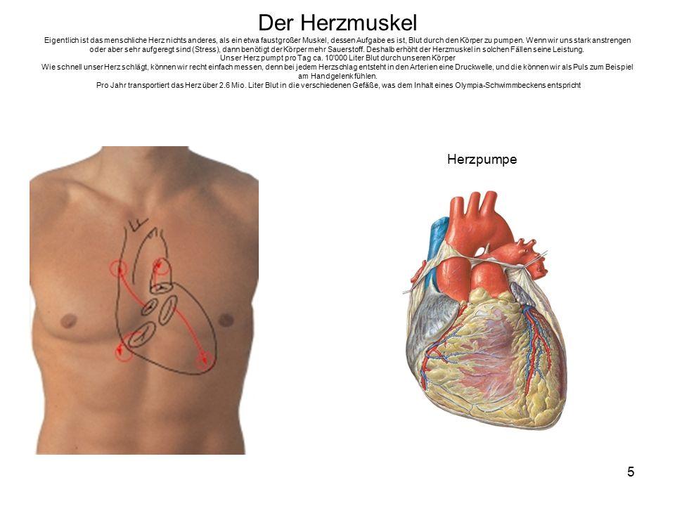 Der Herzmuskel Eigentlich ist das menschliche Herz nichts anderes, als ein etwa faustgroßer Muskel, dessen Aufgabe es ist, Blut durch den Körper zu pumpen. Wenn wir uns stark anstrengen oder aber sehr aufgeregt sind (Stress), dann benötigt der Körper mehr Sauerstoff. Deshalb erhöht der Herzmuskel in solchen Fällen seine Leistung. Unser Herz pumpt pro Tag ca. 10 000 Liter Blut durch unseren Körper Wie schnell unser Herz schlägt, können wir recht einfach messen, denn bei jedem Herzschlag entsteht in den Arterien eine Druckwelle, und die können wir als Puls zum Beispiel am Handgelenk fühlen. Pro Jahr transportiert das Herz über 2.6 Mio. Liter Blut in die verschiedenen Gefäße, was dem Inhalt eines Olympia-Schwimmbeckens entspricht