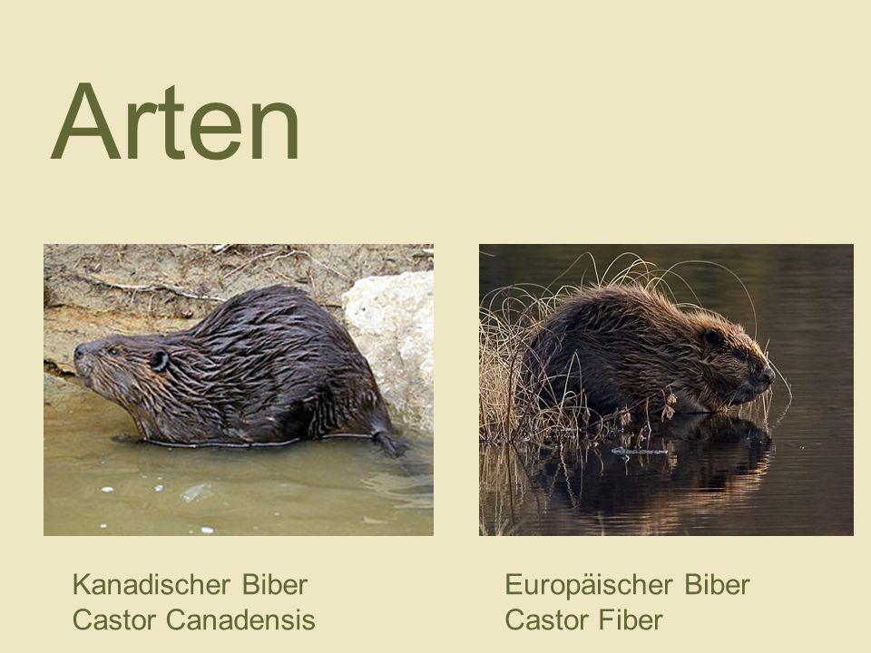 Arten Kanadischer Biber Castor Canadensis Europäischer Biber