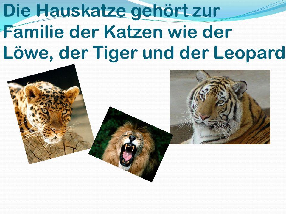 Die Hauskatze gehört zur Familie der Katzen wie der Löwe, der Tiger und der Leopard