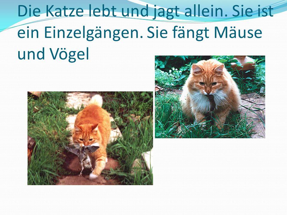 Die Katze lebt und jagt allein. Sie ist ein Einzelgängen