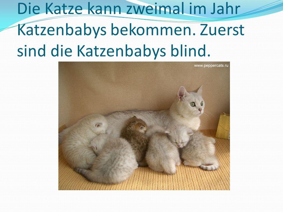 Die Katze kann zweimal im Jahr Katzenbabys bekommen