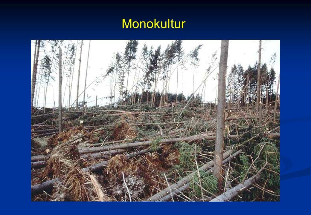 MonokulturFichten- Monokulturen können bei starkem Sturm umfallen wie Zündhölzer.