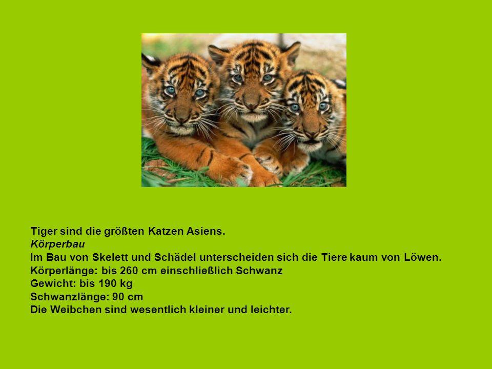 Tiger sind die größten Katzen Asiens