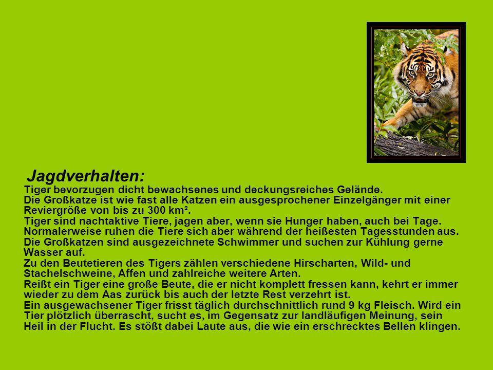 Jagdverhalten: Tiger bevorzugen dicht bewachsenes und deckungsreiches Gelände.