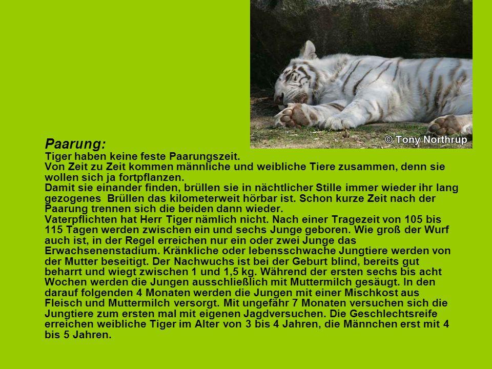 Paarung: Tiger haben keine feste Paarungszeit