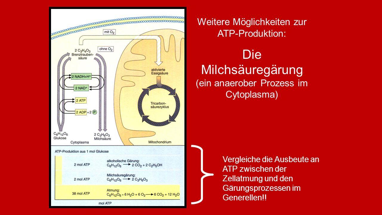 Die Milchsäuregärung (ein anaerober Prozess im Cytoplasma)