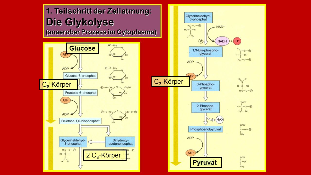 1. Teilschritt der Zellatmung: Die Glykolyse (anaerober Prozess im Cytoplasma)
