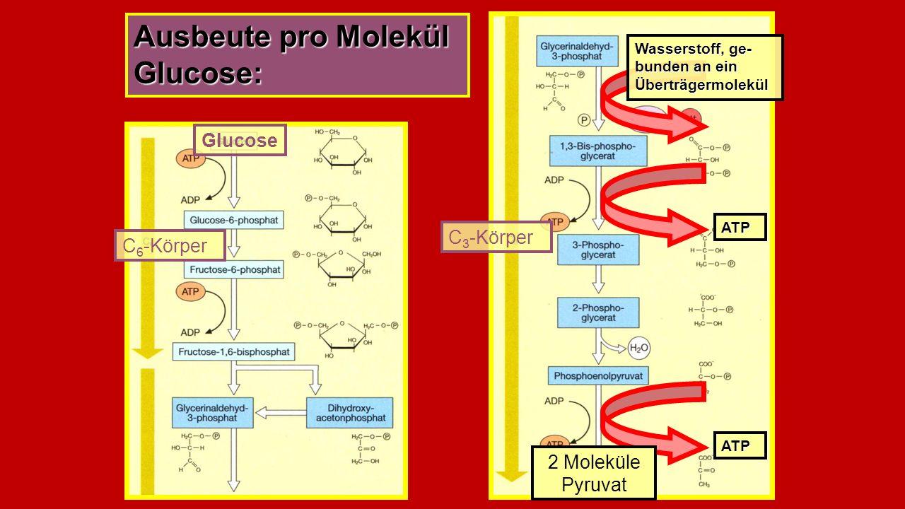 Ausbeute pro Molekül Glucose:
