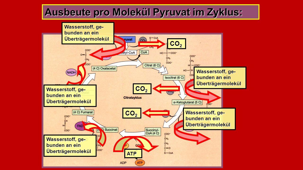 Ausbeute pro Molekül Pyruvat im Zyklus: