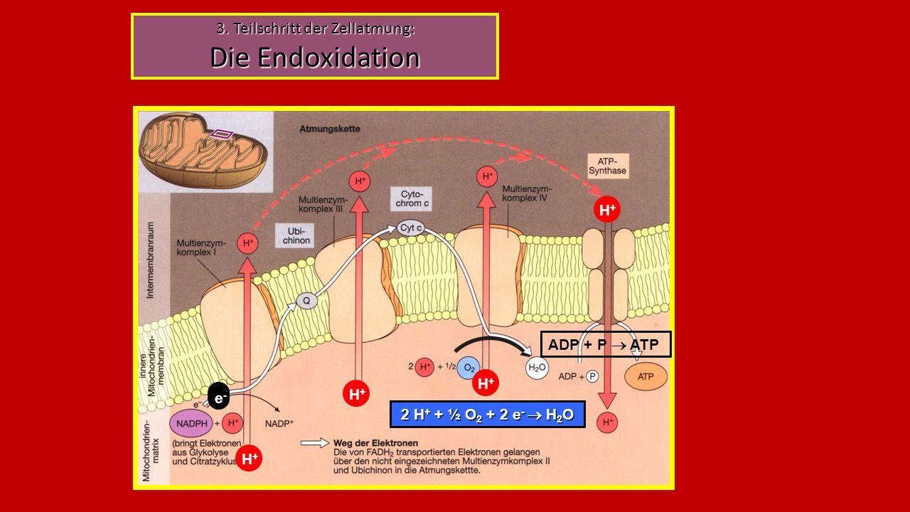 3. Teilschritt der Zellatmung: Die Endoxidation